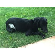 Trace, notre chienne renifleuse de punaises des lits en convalescence.