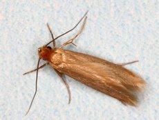 Mite des vêtements (Tineola bisseliella)
