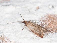 Teigne de la farine (Ephestia kuehniella)